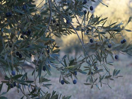 La Vinya Nova – Olive oil